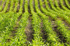 Centrales de maïs organiques Photo libre de droits