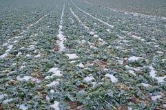 Centrales de navet en tant qu'engrais vert sur une zone hivernale photos libres de droits