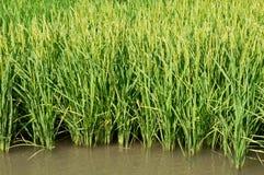 Centrales de riz Image stock