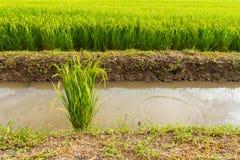 Centrales de riz vertes Photographie stock libre de droits