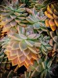 Centrales succulentes Photo libre de droits