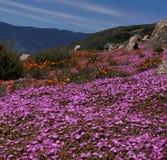 Centrali wybrzeża kwiat Obraz Royalty Free