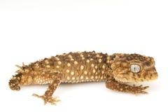 Centralian Rough Knob-tailed Gecko. (Nephrurus amyae) on white background Royalty Free Stock Photo