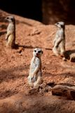 Meerkats crouching on sand and enjoy the sunny day Royalty Free Stock Photos