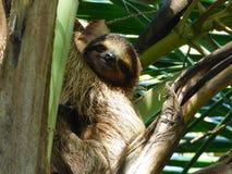 Centralt amerikanskt däggdjur, sengångare Arkivbild