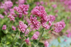 Centranthus red flowers Stock Image
