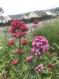 Red and pink valerian stock images