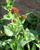 Centranthus Ruber in Bud. The unopened flower bud of Centranthus ruber commonly known as Red Valerian. The plant is native of Mediterranean regions and has Royalty Free Stock Photography