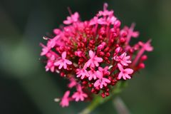 Centranthus ruber `Coccineus` or Red Valerian deep pink- red flowers is a perennial. Centranthus is sixty to ninety centimeters high with beautiful little pink stock photography