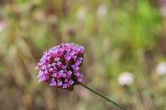 Centranthus ruber Pretty Betsy with soft clusters of small, trumpet-shaped pink flowers or red valerian. Centranthus ruber Pretty Betsy with soft clusters of Stock Photos