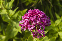Centranthus ruber, red valerian, flower. Macro. Royalty Free Stock Photo