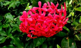 Free Centranthus Ruber.Red Valerian.Species.There Are Red, White And Pink Varieties Of Red Valerian Royalty Free Stock Image - 154554176