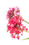 Centranthus ruber Stock Photo