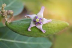 Centre brouillé et mou de doux abstrait de plante, de gigantea de Calotropis, d'Apocynaceae, d'Asclepiadoideae, de fleur et de fr Photos libres de droits
