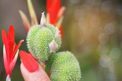 Centre brouillé et mou de doux abstrait des ongles de maquillage par le pétale de Canna indica, fleur de tir indien avec le bokeh Image libre de droits