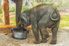 Centre d'élevage d'éléphant dans Chitwan, Népal Image stock
