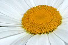 The Centre of the Daisy Royalty Free Stock Photo