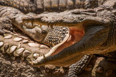 Centre de piscine de crocodile de crocodile de Chongqing Image libre de droits