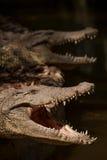 Centre de piscine de crocodile de crocodile de Chongqing Photos libres de droits