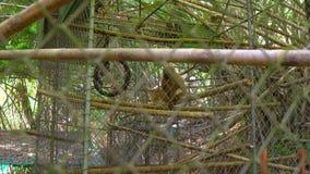 centre de r?habilitation de singe Pauvre gibbon qui a perdu son bras et pied en raison d'un abus humain clips vidéos