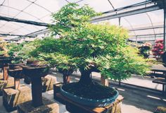 Centre de serre chaude de bonsaïs rangées avec de petits arbres photos libres de droits