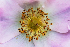 Centre of dog rose flower. Stamens and petals Royalty Free Stock Images