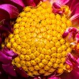 Centre jaune d'une fleur pourpre Photographie stock
