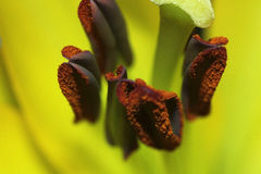 The centre of lily. Close-up and interesting botany, macro Royalty Free Stock Photos