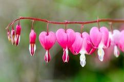 Centre mou d'en forme de coeur de la fleur de défenseur de la veuve et de l'orphelin dans le rose et Image stock