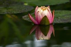 Centre mou d'une belle de rose fleur orange de coucher du soleil ou de lotus du ` s de Perry waterlily avec des gouttes de pluie  photographie stock libre de droits