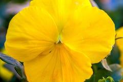 Centre mou de fin vers le haut de fleur jaune de pensée Image libre de droits