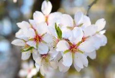 Centre mou de fond de fleur d'amande blur Foyer sélectif a photos stock