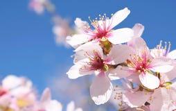 Centre mou de fond de fleur d'amande blur Foyer sélectif a images libres de droits