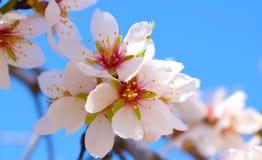 Centre mou de fond de fleur d'amande blur Foyer sélectif a image stock