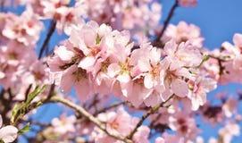 Centre mou de fond de fleur d'amande blur Foyer sélectif photos stock