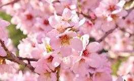 Centre mou de fond de fleur d'amande blur Foyer sélectif images stock