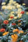 Centre sélectif d'un groupe de fleur orange de Zinnia images stock