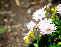Centre sélectif de belle fleur de ` de journée de printemps de sérénité de Daisybush de ` d'osteospermum à un jardin botanique photographie stock libre de droits