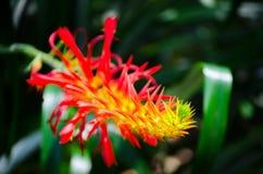 Centre sélectif de belle fleur rouge-orange de ` de flammea de pitcairnia de ` dans un printemps à un jardin botanique image libre de droits