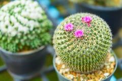 Centre sélectif de cactus formé rond vert avec de petites fleurs pourpres lumineuses mignonnes et dièse Photo stock
