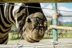 Centre sélectif de zèbre de souris extérieur au zoo Image libre de droits