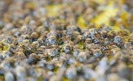 Centre sélectif des abeilles de travail sur des cellules de miel images stock