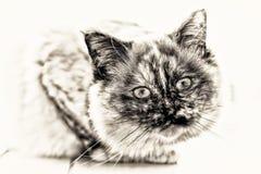 Centre-se sobre a cabeça do lookin completo do comprimento do gato de Birman Imagem de Stock