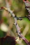 Centre-se sobre um grupo de espinhos da amora selvagem Fotos de Stock Royalty Free