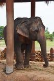 Centre Surin Thaïlande d'étude de village d'éléphant de BanTaKlang Photographie stock libre de droits
