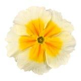centrera blomman isolerad vit yellow för primrosen royaltyfria bilder