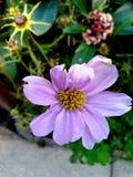 Centro amarelo da flor cor-de-rosa fotografia de stock royalty free