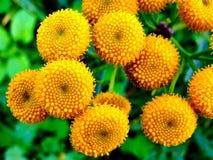 Centro amarelo do dente-de-leão Imagens de Stock
