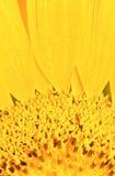 Centro amarillo de la flor Fotografía de archivo libre de regalías
