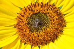 Centro amarillo del girasol Fotografía de archivo libre de regalías